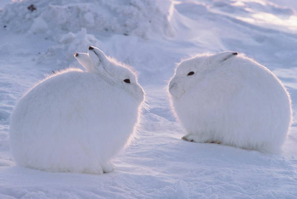 Art In Canada Photograph - Arctic Hare Lepus Arcticus, Ellesmere by Art Wolfe