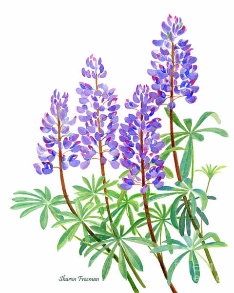 Freeman Wall Art - Painting - Arctic Lupine 2 by Sharon Freeman