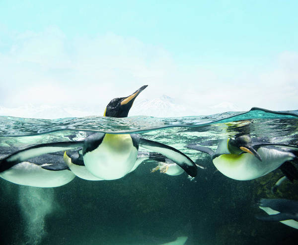 Underwater Photograph - Arctic Penguins by Colin Anderson