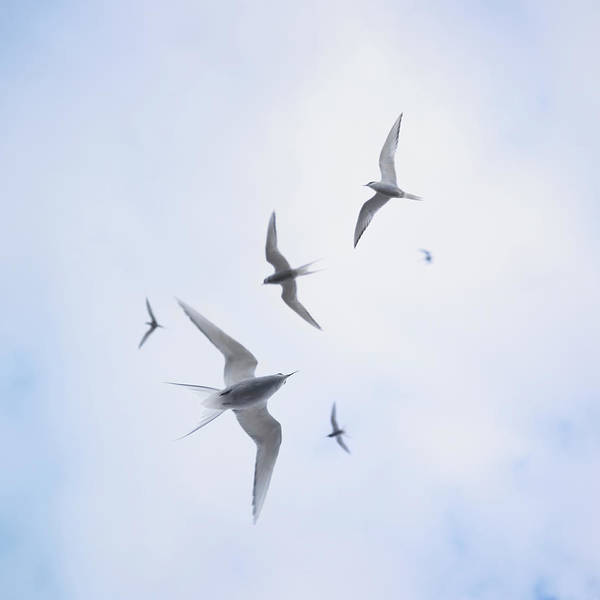 Wall Art - Photograph - Arctic Sterns Flying In Cloudy Sky by Aurelie And Morgan David De Lossy