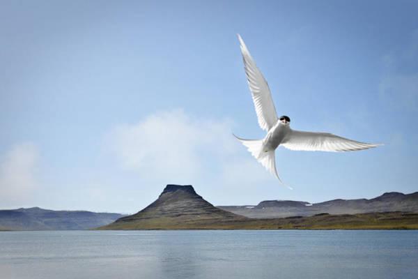 Wall Art - Photograph - Arctic Tern by Baldur Pan Photography