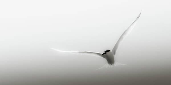 Wall Art - Photograph - Arctic Tern Bird by Stuart Leche