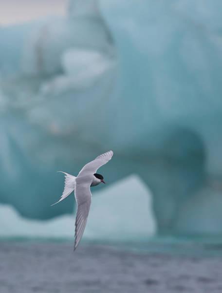 Wall Art - Photograph - Arctic Tern In Flight Backdrop Iceberg by Darrell Gulin