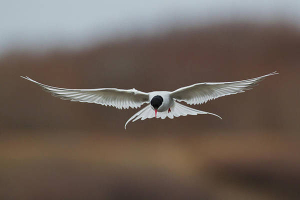 Wall Art - Photograph - Arctic Tern Looking For Fish by Ken Archer