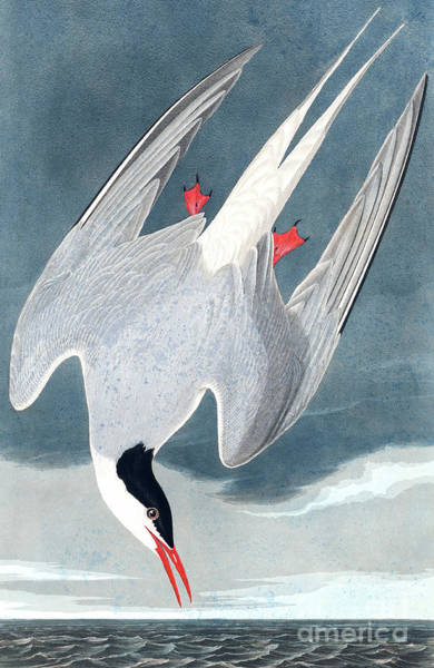 Wall Art - Painting - Arctic Tern, Sterna Paradisaea By Audubon by John James Audubon