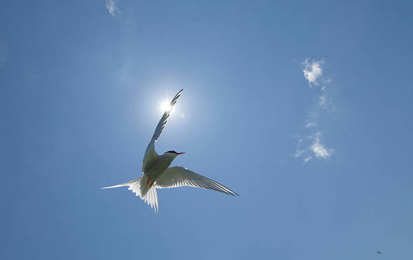 Wall Art - Photograph - Arctic Tern Sterna Paradisaea In by Mike Powles