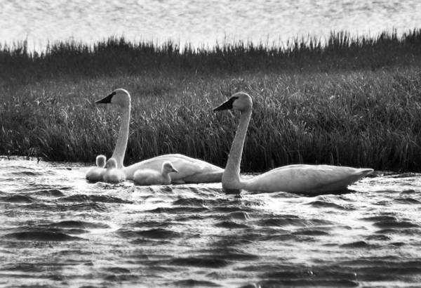 Photograph - Arctic Tundra Swans And Cygnets by Anthony Jones