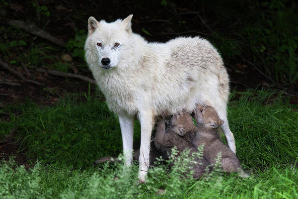 Arctic Wolves Photograph - Arctic Wolf Pups Feeding by Jim Cumming