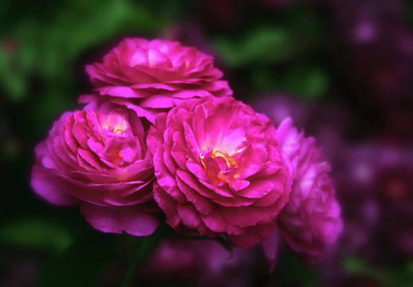 Wall Art - Photograph - Ardent Rose by Jessica Jenney