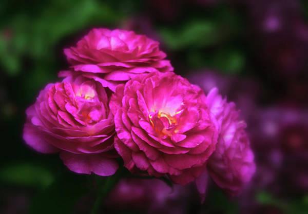 Photograph - Ardent Rose by Jessica Jenney