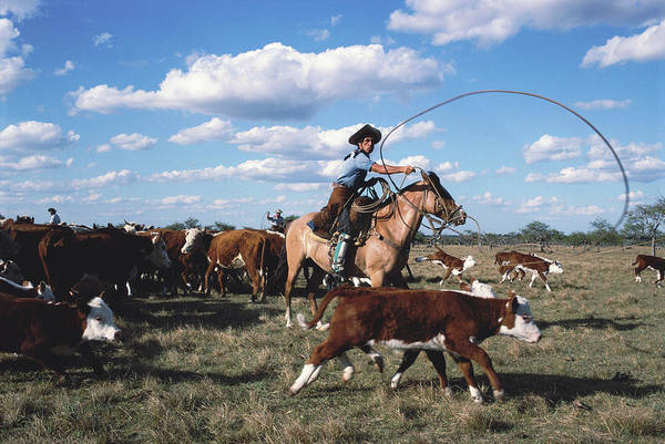 Reportage Photograph - Argentina, Gaucho Lasoing Cattle On by Christopher Pillitz