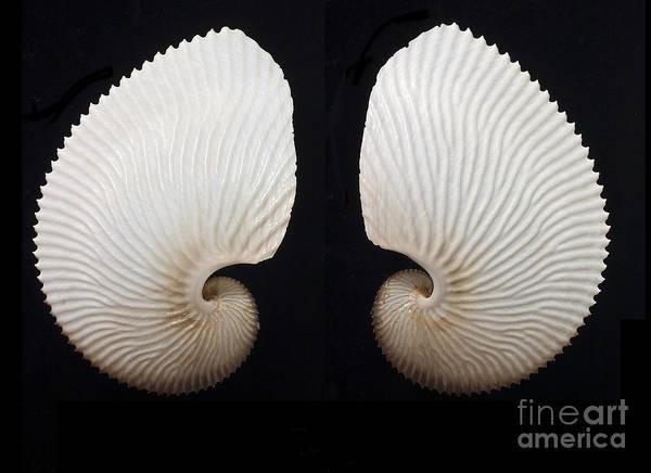 Wall Art - Photograph - Argonauta Hians, Brown Paper Nautilus by Unknown