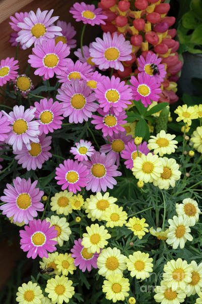 Wall Art - Photograph - Argyranthemum Flowers by Tim Gainey