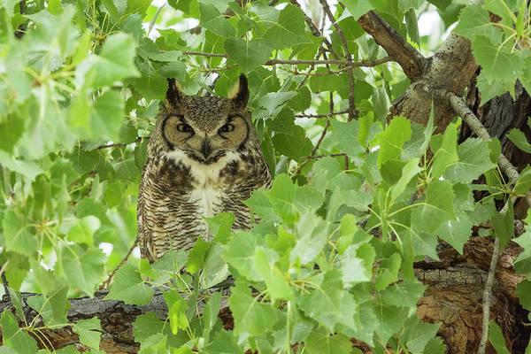 Wall Art - Photograph - Arizona A Great Horned Owl Perches by Brenda Tharp