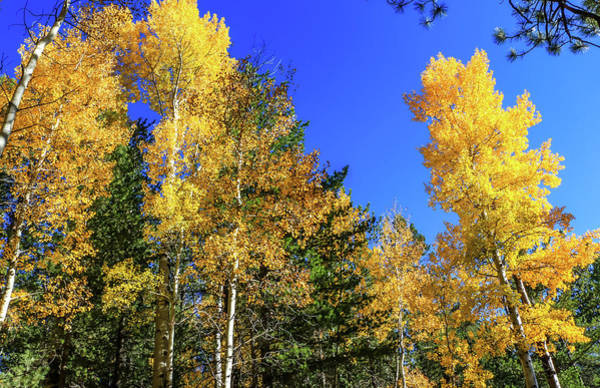 Arizona Aspens In Fall 1 Art Print