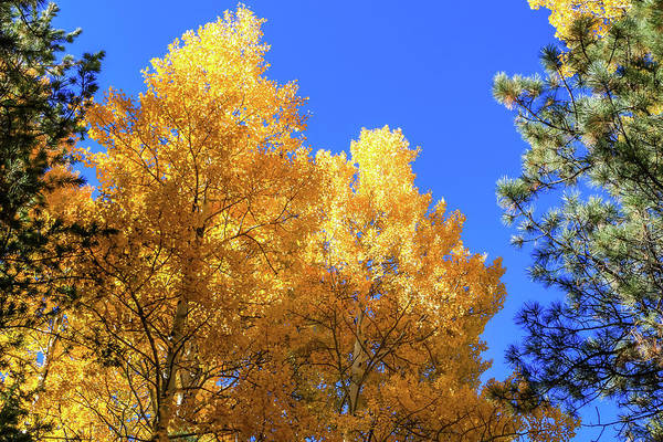 Arizona Aspens In Fall 2 Art Print
