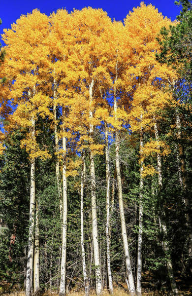 Arizona Aspens In Fall 3 Art Print