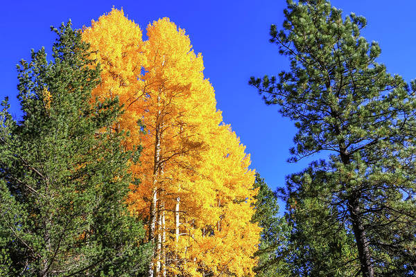 Arizona Aspens In Fall 4 Art Print