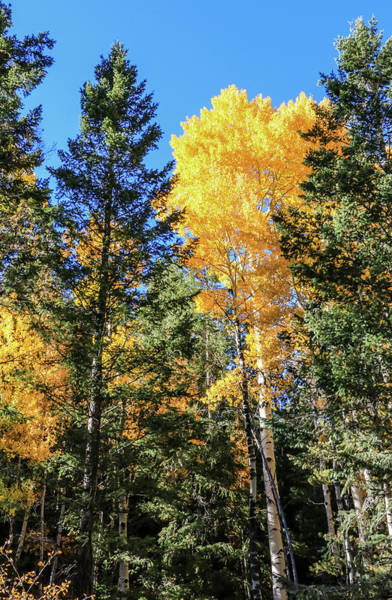 Arizona Aspens In Fall 5 Art Print
