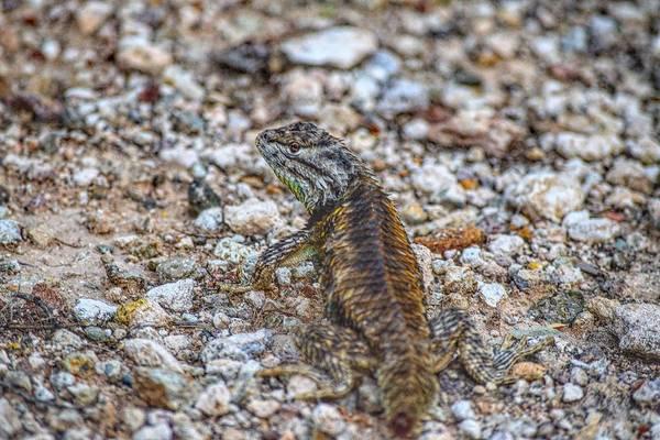 Photograph - Arizona Desert Spiny Lizard by Chance Kafka