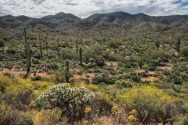 Photograph - Arizona Landscape With Saguaro And Brittlebush by Dave Dilli