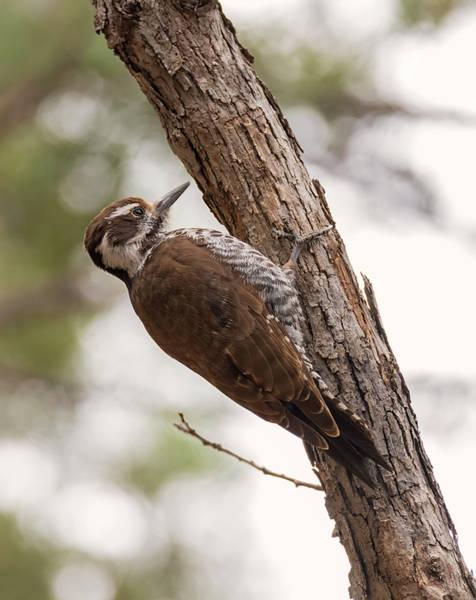 Photograph - Arizona Woodpecker by Loree Johnson