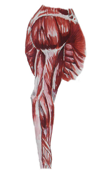 Painting - Arm Muscles Anatomy Study  by Irina Sztukowski