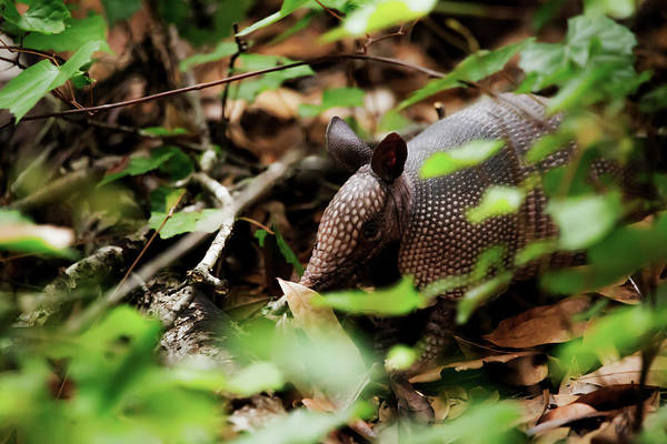 Photograph - Armadillo  by Kevin Banker