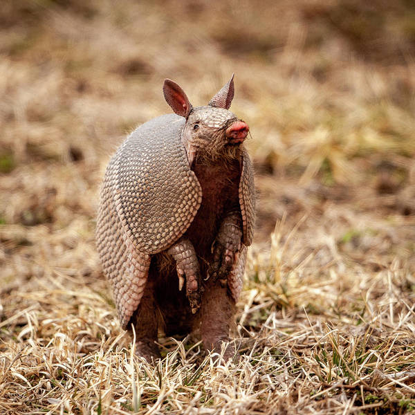 Photograph - Armadillo Sense by Jeff Phillippi