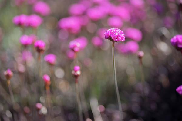 Photograph - Armeria Maritima Rubrifolia by Jonathan Hansen