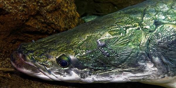 Photograph - Armored Arapaima by KJ Swan