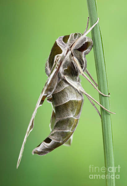 Photograph - Army Green Moth by Marco Fischer