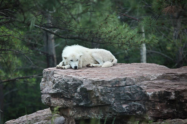 Arctic Wolves Photograph - Artic Wolf by Driendl Group