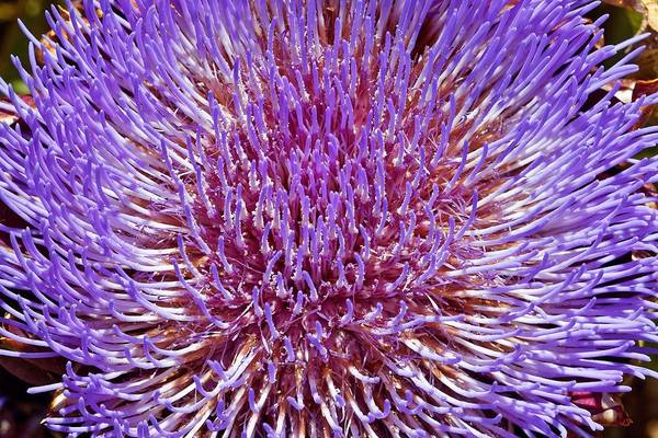 Photograph - Artichoke by KJ Swan