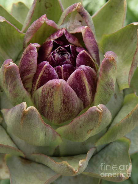 Photograph - Artichoke Plant by Christy Garavetto