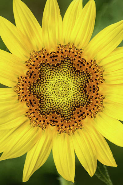 Photograph - Artistic 2 Perfect Sunflower by Don Johnson