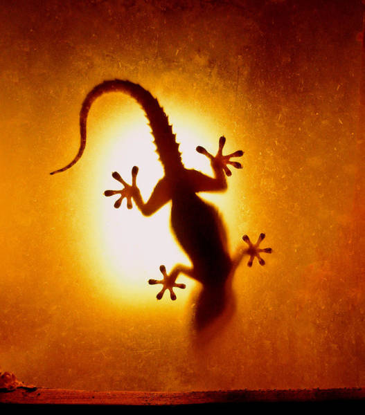 Upside Down Photograph - Artistic Backlight Shot Of A Gecko by Sir Francis Canker Photography