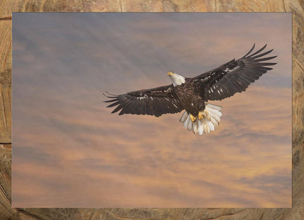 Photograph - Artistic Bald Eagle 2019 by Thomas Young