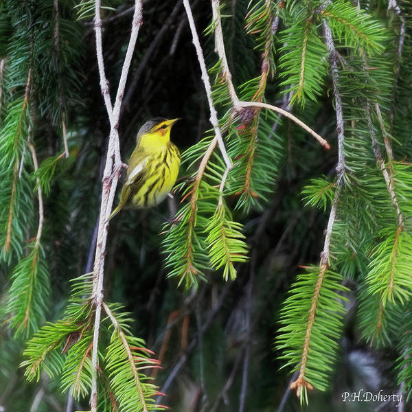 Wall Art - Digital Art - Artistic Cape May Warbler by Phill Doherty
