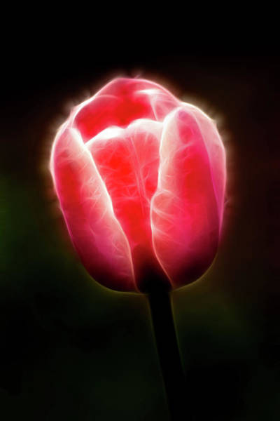 Photograph - Artistic Pink Tulip Profile by Don Johnson