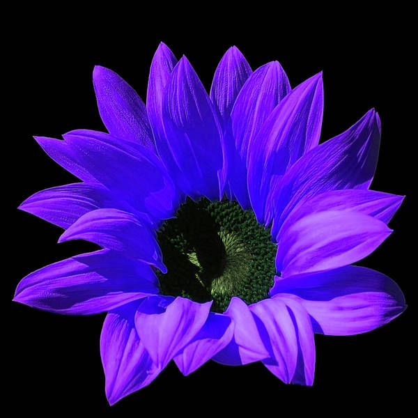 Photograph - Artistic Purple Sunflower In The Sunlight by Johanna Hurmerinta