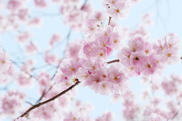 Fruit Trees Wall Art - Photograph - Artistic Shot Of Cherry Blossom, With by Pixonaut