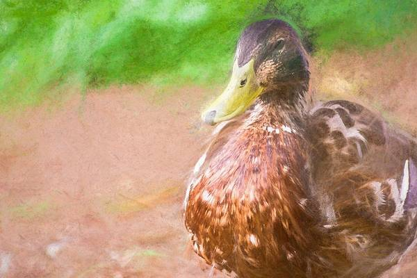 Photograph - Artsy Duck Chalk Smudge by Don Northup