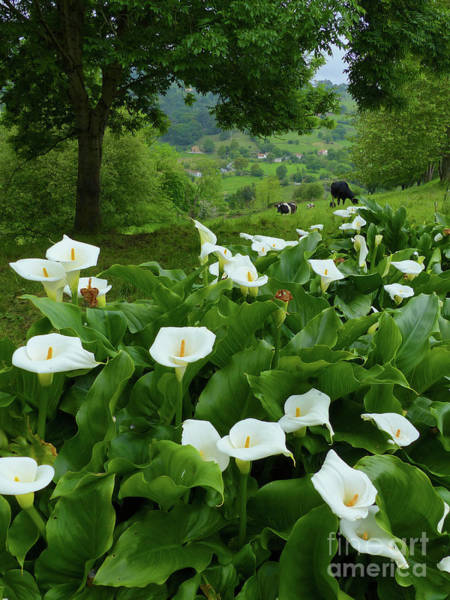 Photograph - Arum Lillies In The Hills by Phil Banks