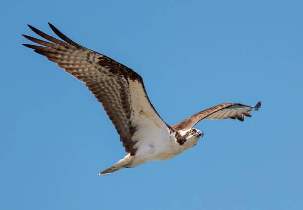Photograph - Ascendant Osprey by Loree Johnson