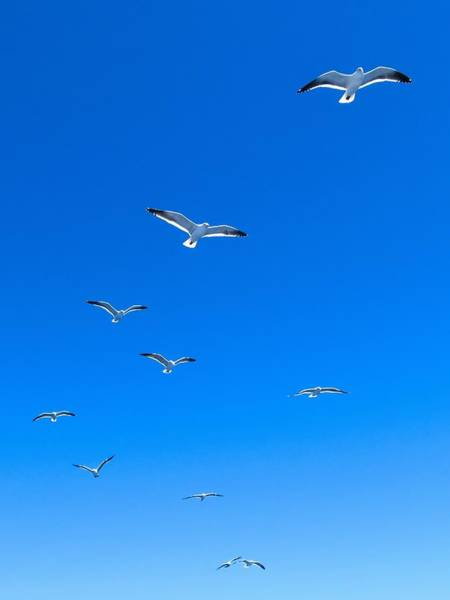 Photograph - Group Of Seagulls On Blue Sky In The Argentine Patagonia by Fine Art Photography Prints By Eduardo Accorinti