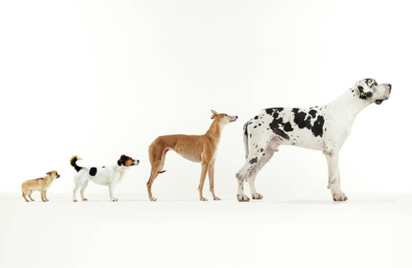 Great Dane Photograph - Ascent Of Dog by Michael Blann
