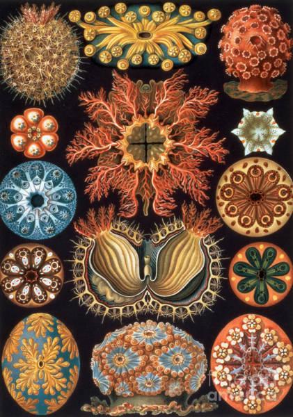 Arthropods Painting - Ascidiae, Plate 85 From Kunstformen Der Natur by Ernst Haeckel