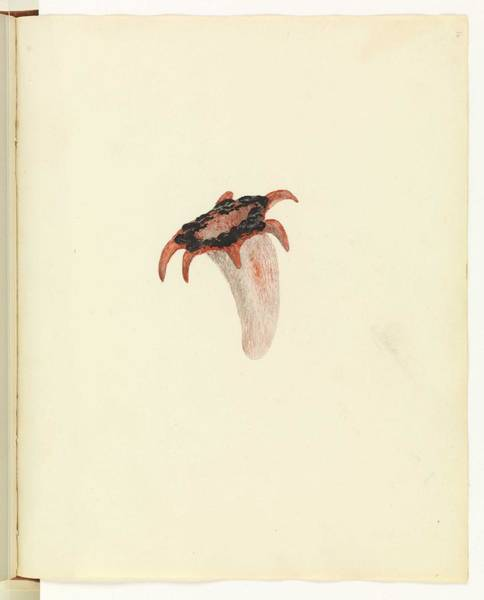Wall Art - Painting - Asero Rubra  Red Starfish Fungus, Or Anemone Stinkhorn  Unsigned Sketches Attributed To William Buel by Celestial Images
