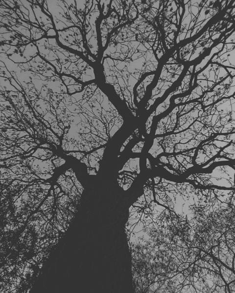 Photograph - Ash Tree by Samuel Pye